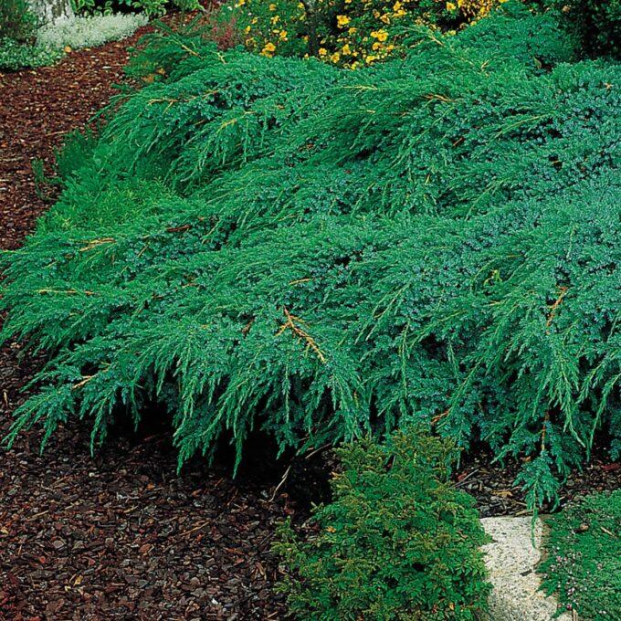 Himalayaeiner Blåeiner 'Blue Carpet' har en tett, utbredt og kompakt vekst med blå nåler. Trives på en solrik vokseplass i godt drenert hagejord. Passer godt i bed og skråninger