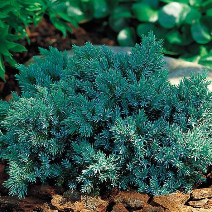 Himalayaeiner Blue Star har tett, tueformet og kompakt vekst med blå nåler.Trives best på en solrik vokseplass i godt drenert jord.