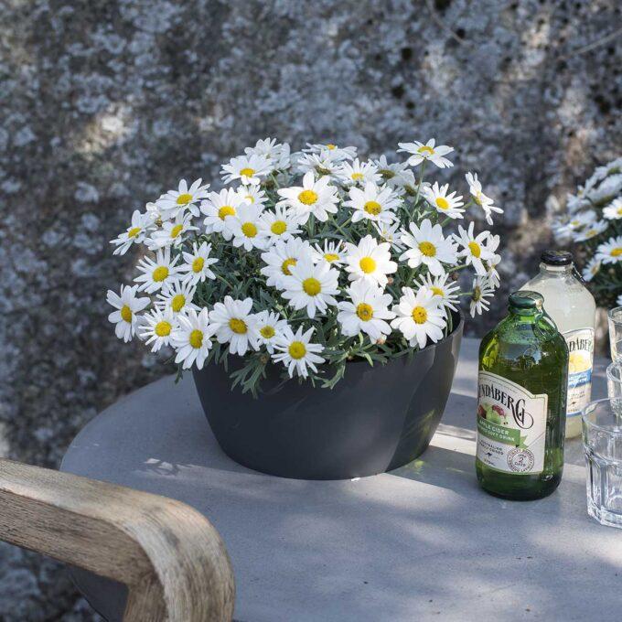 hvite margeritter i blomsterpotte på bordet