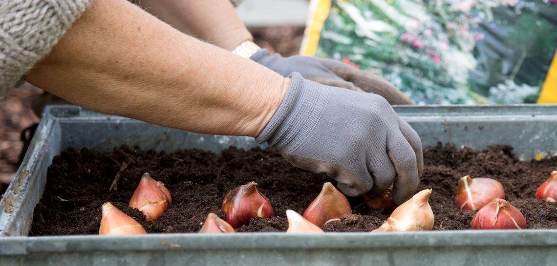 Gartner setter blomsterløkene i jorda