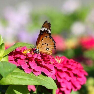 Fargerik sommerfugl på blomsterhodet