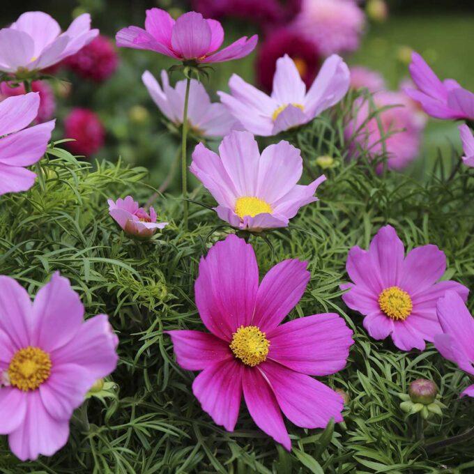 Nærbilde av Kosmos blomsterhode