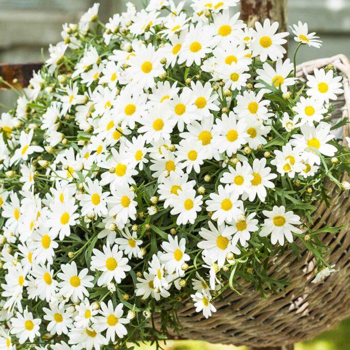 Hvite margeritte i blomsterpotte
