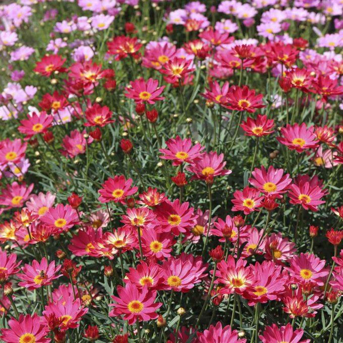 Felt av rosa margeritter