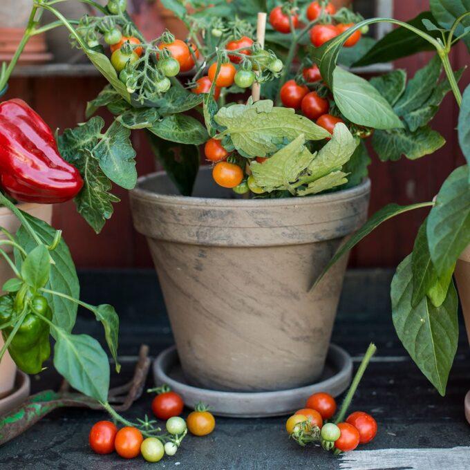 Leirpotte med beplantet tomat