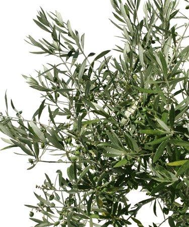 Oliventre på hvit bakgrunn