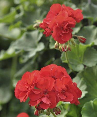 Nærbilde av røde pelargonia blomster