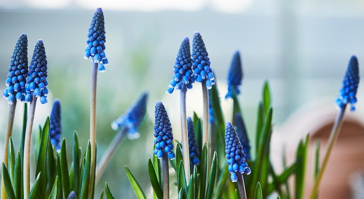 Nærbilde av blå perleblomst Muscari