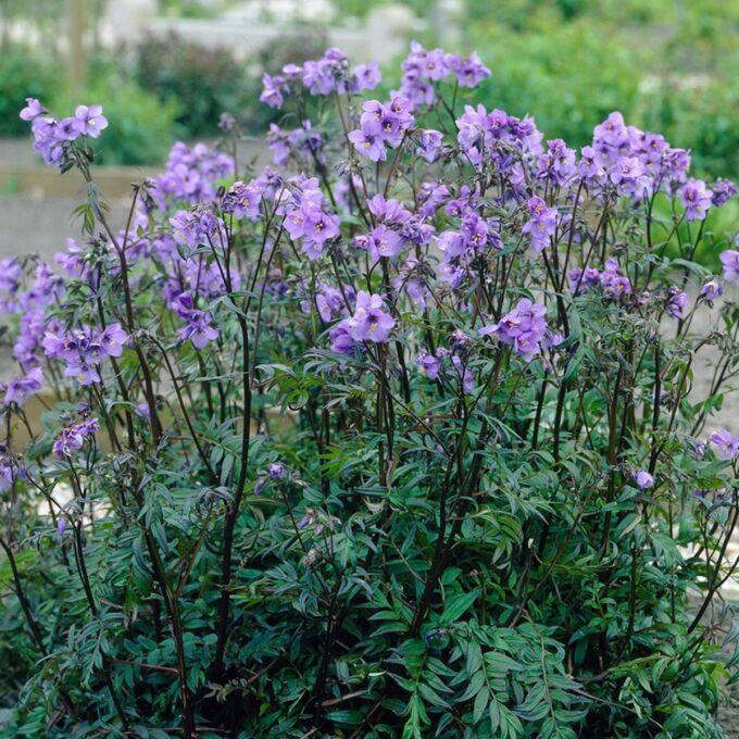 Flokk Purple Rain