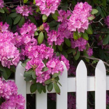 Lilla rhododendron og hvit tregjerde