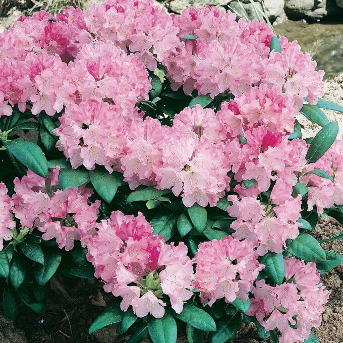 Japansk Rhododendron 'Kalinka'