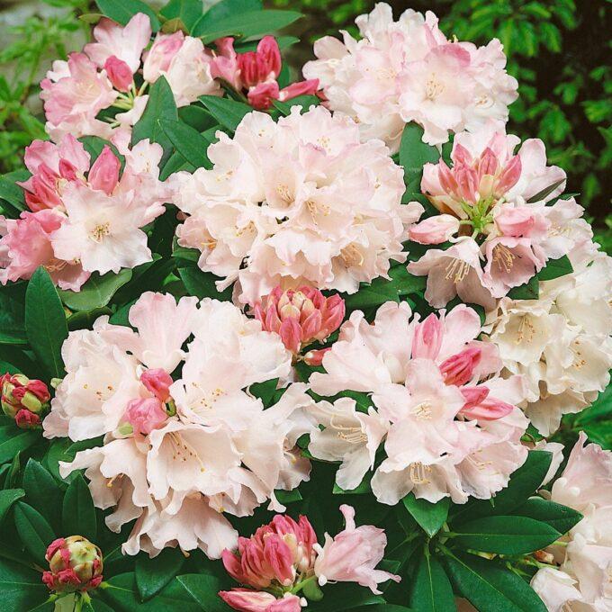Japansk Rhododendron 'Dreamland'