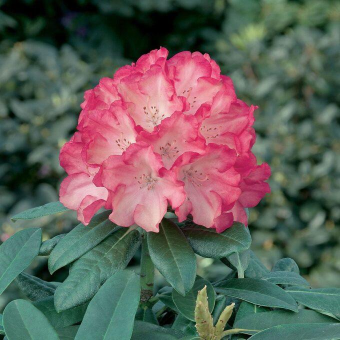 Japansk Rhododendron 'Fantastica'