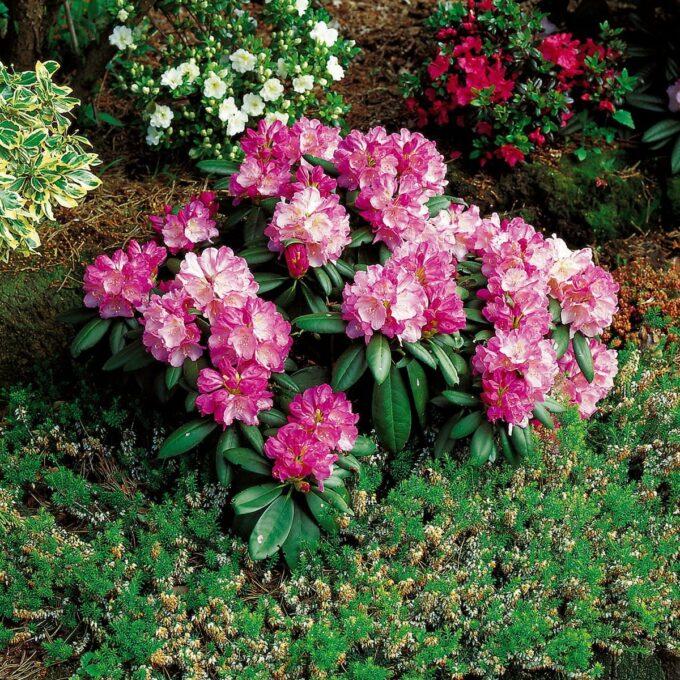 Japansk Rhododendron 'Polaris'