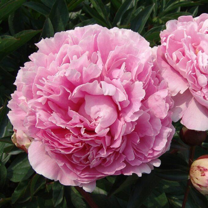 Silkepion 'Sarah Bernhardt'