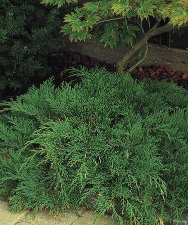 Småbiota er en lav plante med krypende vekst. Den er irrgrønn om sommeren og får rødbrun farge om vinteren. Trives både i sol og halvskygge.