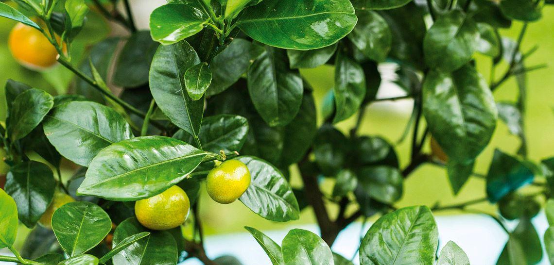 Appelsintreet med små frukter