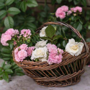 Vakre hvite og rosa hageroser i kurv