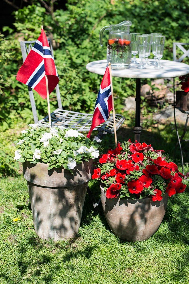 røde og hvite petunia i store potter og norske flagg