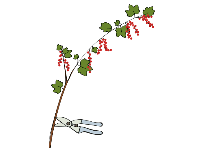 Hageland Hagekartoteket - Beskjæring av bærbusker