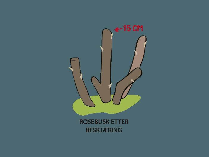 Hageland Hagekartoteket - beskjær busk og parkrosene til det står 15 cm igjen over bakkenivå