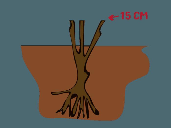 Hageland Hagekartoteket - Beskjær stilk- og klaseroser til det er 15 cm igjen over bakkenivå