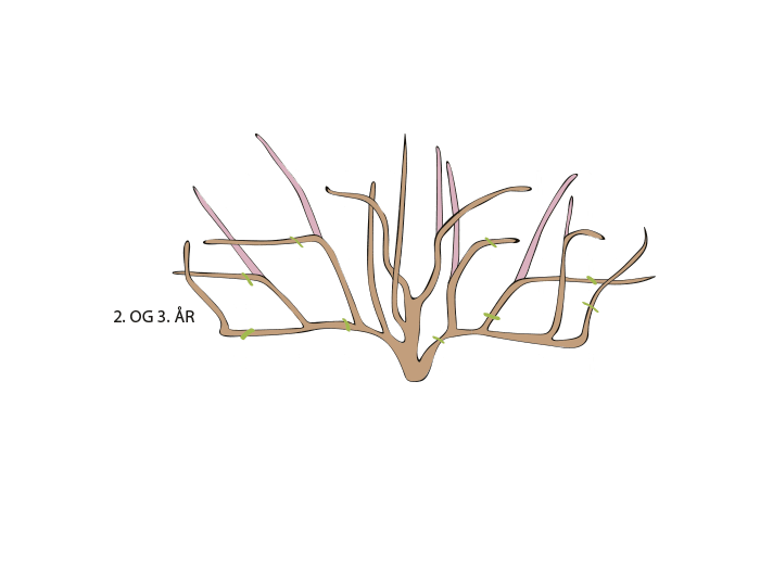 Hageland Hagekartoteket - beskjæring av klatreroser 2 og 3 år