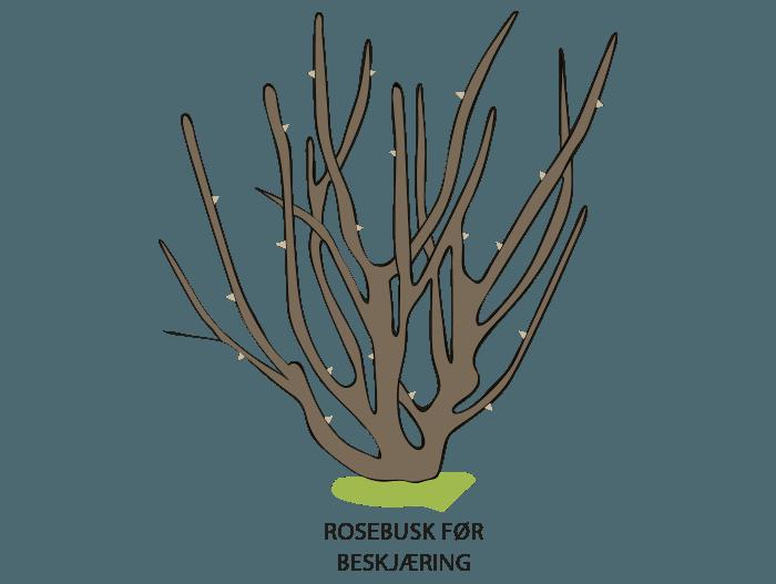Hageland Hagekartoteket - busk og parkrosene vises før beskjæring