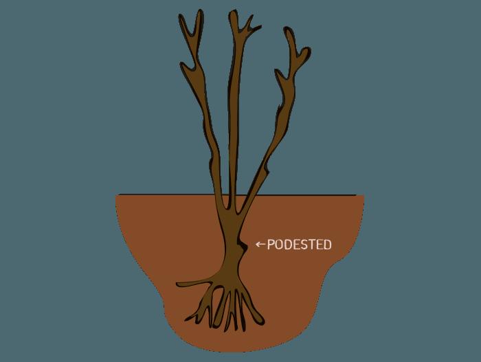 Hageland Hagekartoteket - Hageroser skal plantes med podested 8-10 cm under jordoverflaten