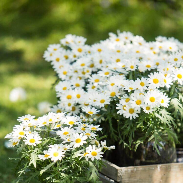 Hvite margeritter sommerblomster