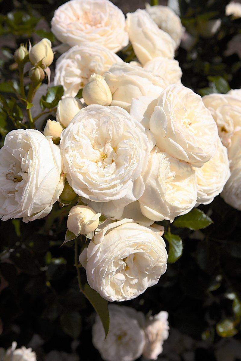 Nærbilde av buskrose artemis med hvite blomsterklase