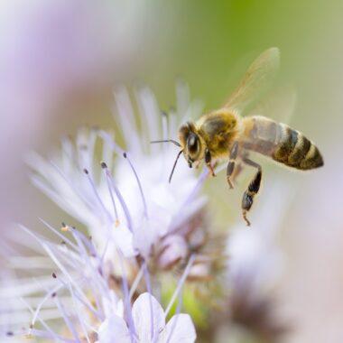 bie blomst staude bievennlig