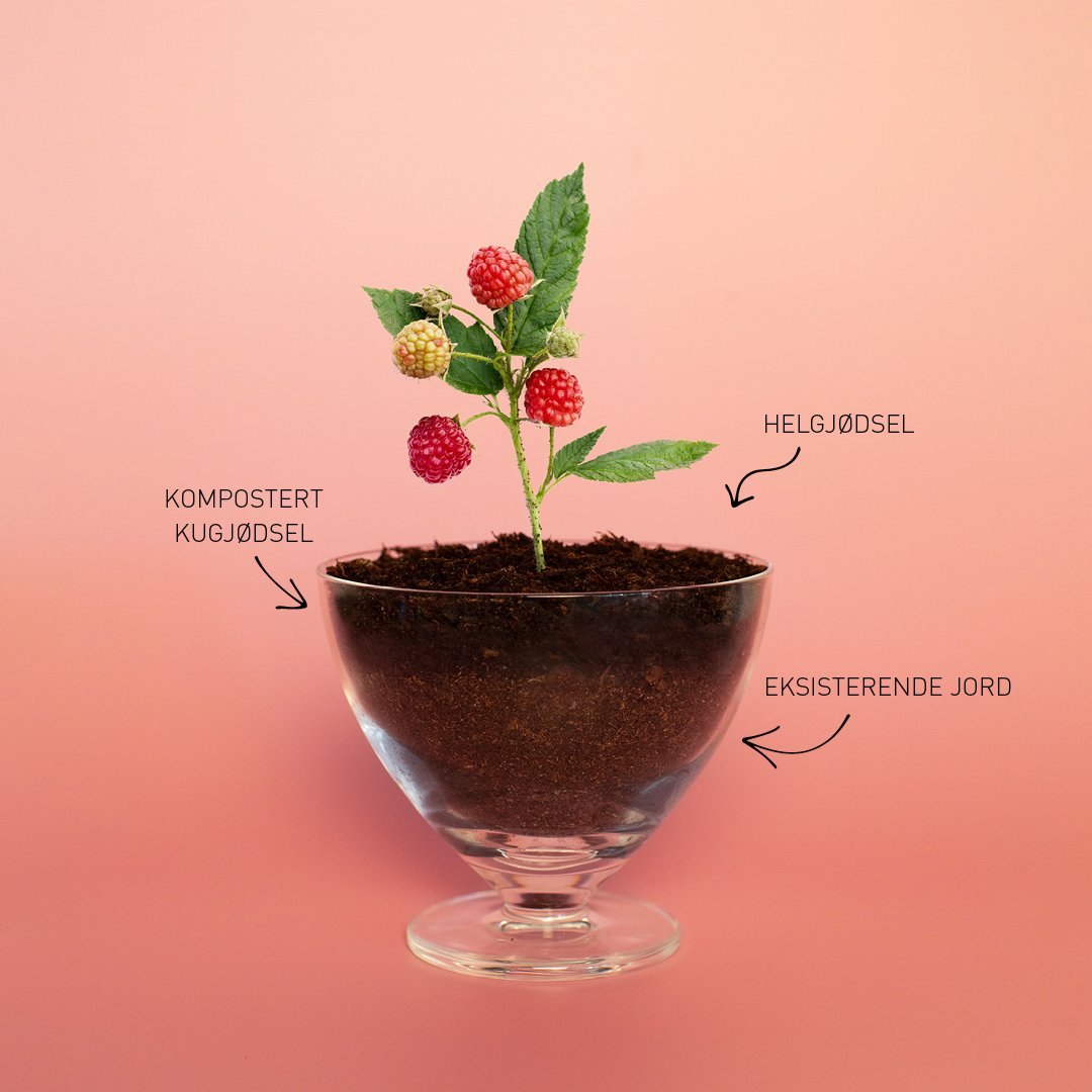 Hagelands bringebaer detox - oppskriften til røde og søte bringebær