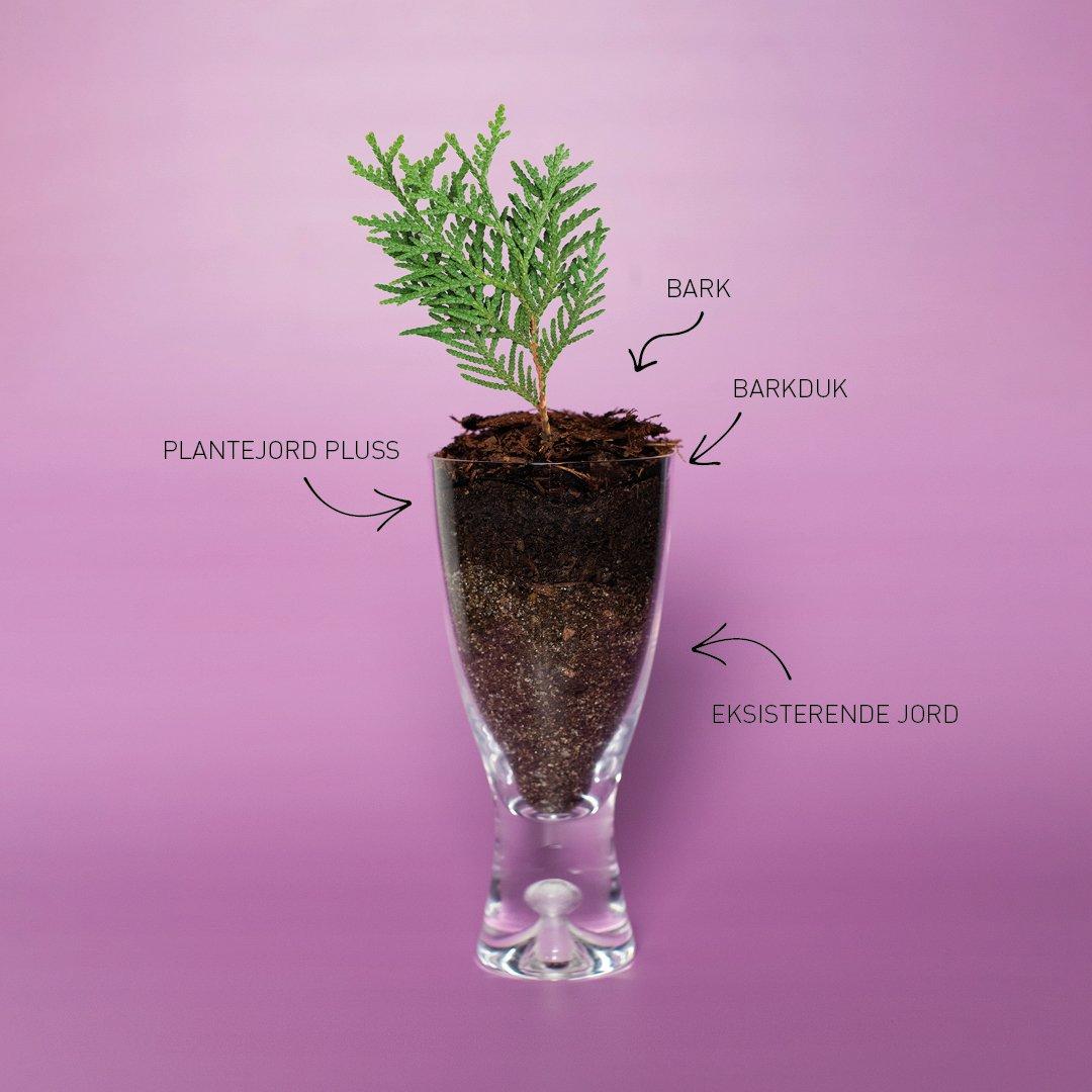 Thuja snaps - en god mix av næring til vintergrønne planter