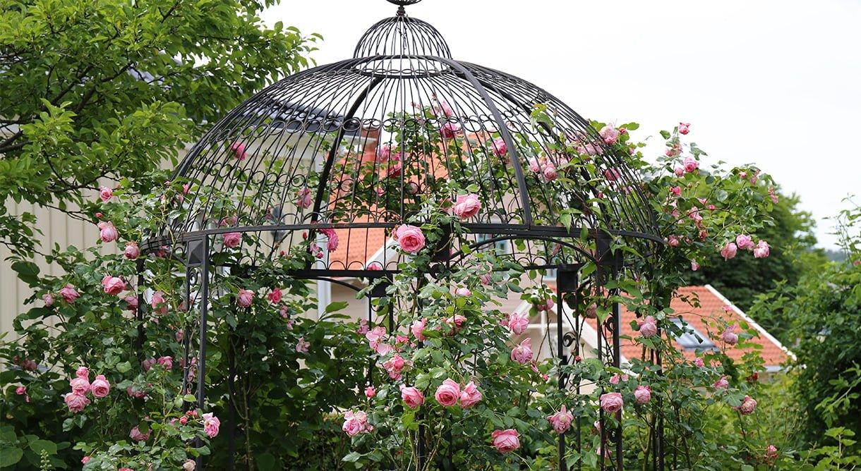 Historiske roser i hagen