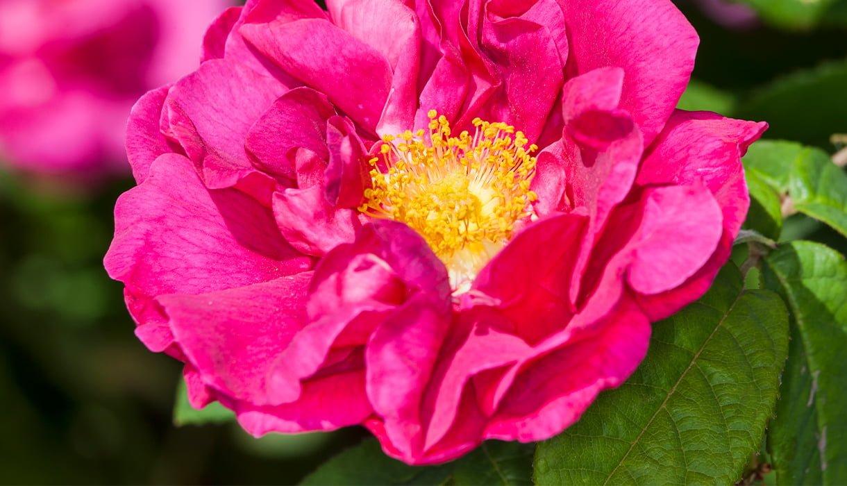 Nærbilde av rose Gallica mørk rosa