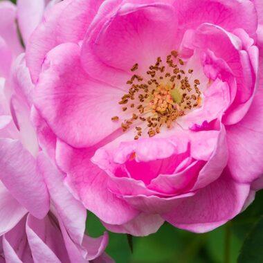 Nærbilde av rosa Gallica rose