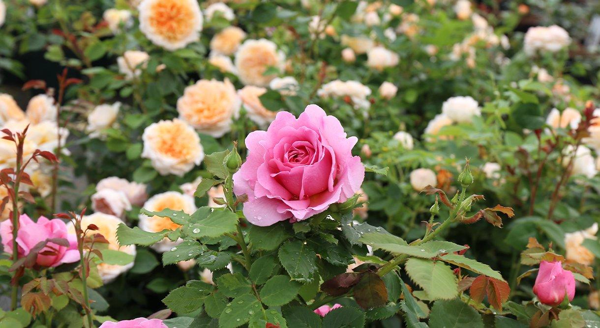 Rosa Austin rose i fokus, gulhvite roser i bakgrunn.