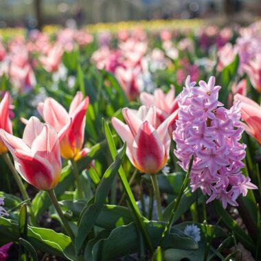 Høstløk Tulipan og svibel