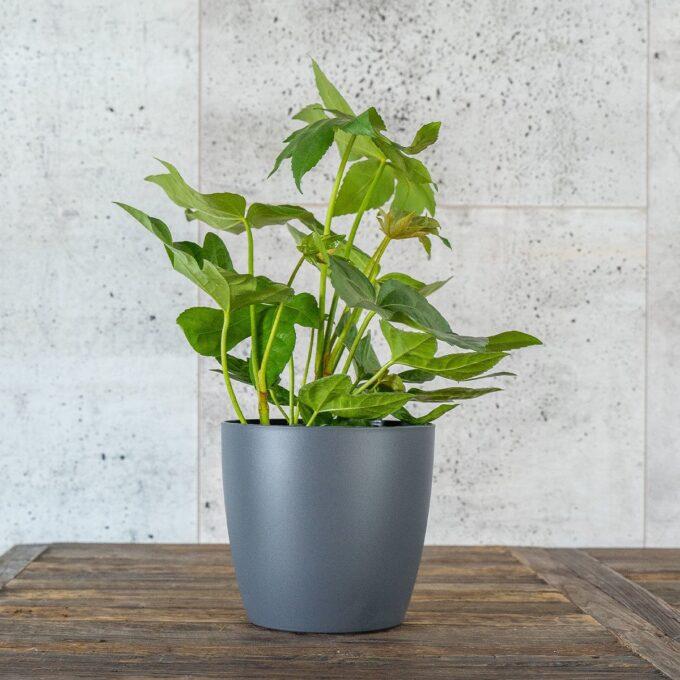 Stuearalia, også kalt Japan-fatsia i grå potte