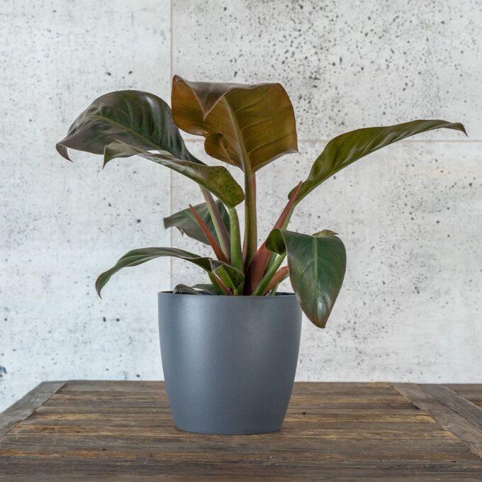 Philodendron eller Kobberklattrer 'Imperial Green' i grå potte