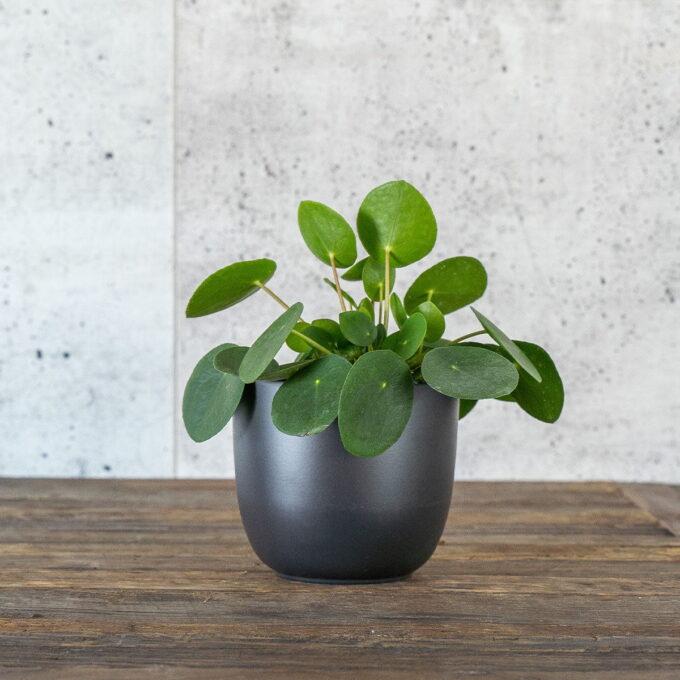 Pilea også kjent som elefantøre, kinesisk pengeplante eller misjonærplant