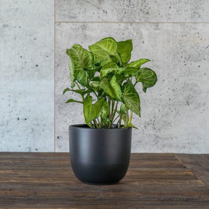 Gåsefotsyngonium i sort potte