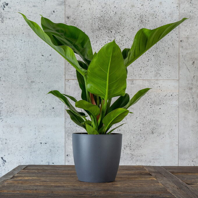Philodendron 'Imperial Green' i potte