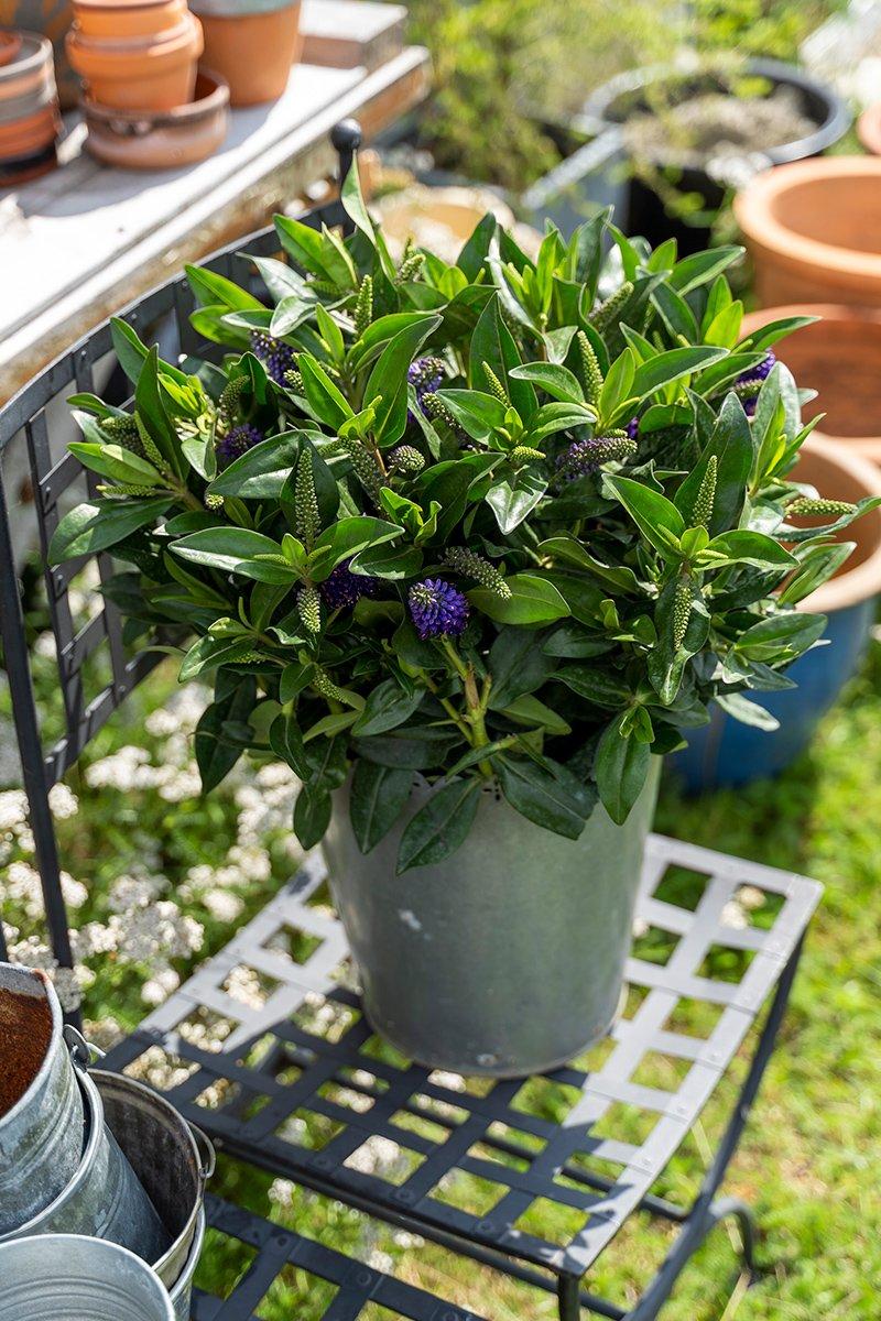 tinnpotte med hebe høstplante