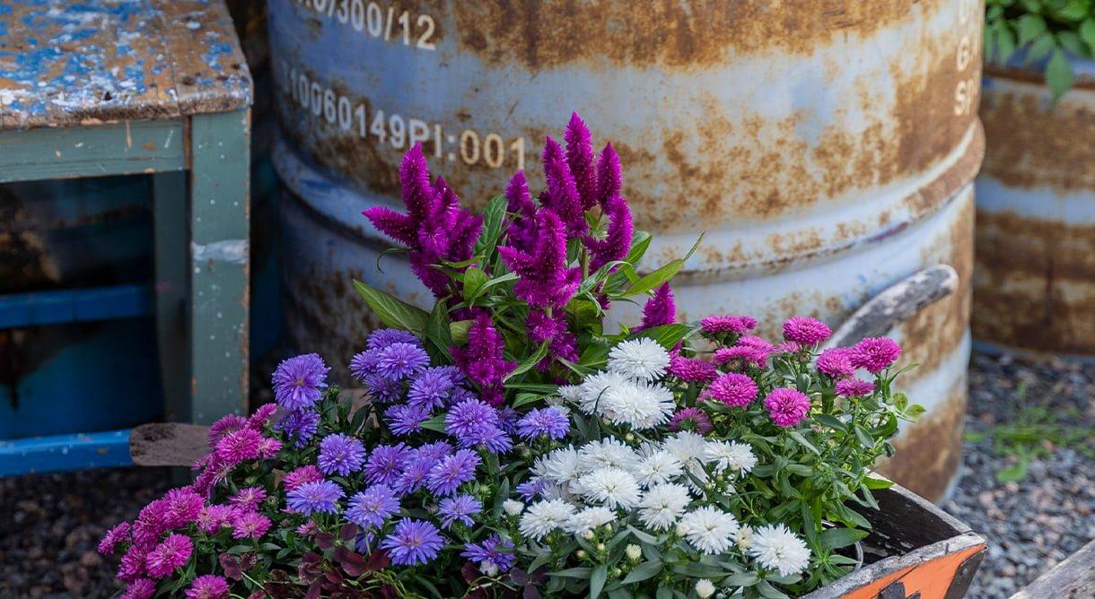 asters og celosia blomster