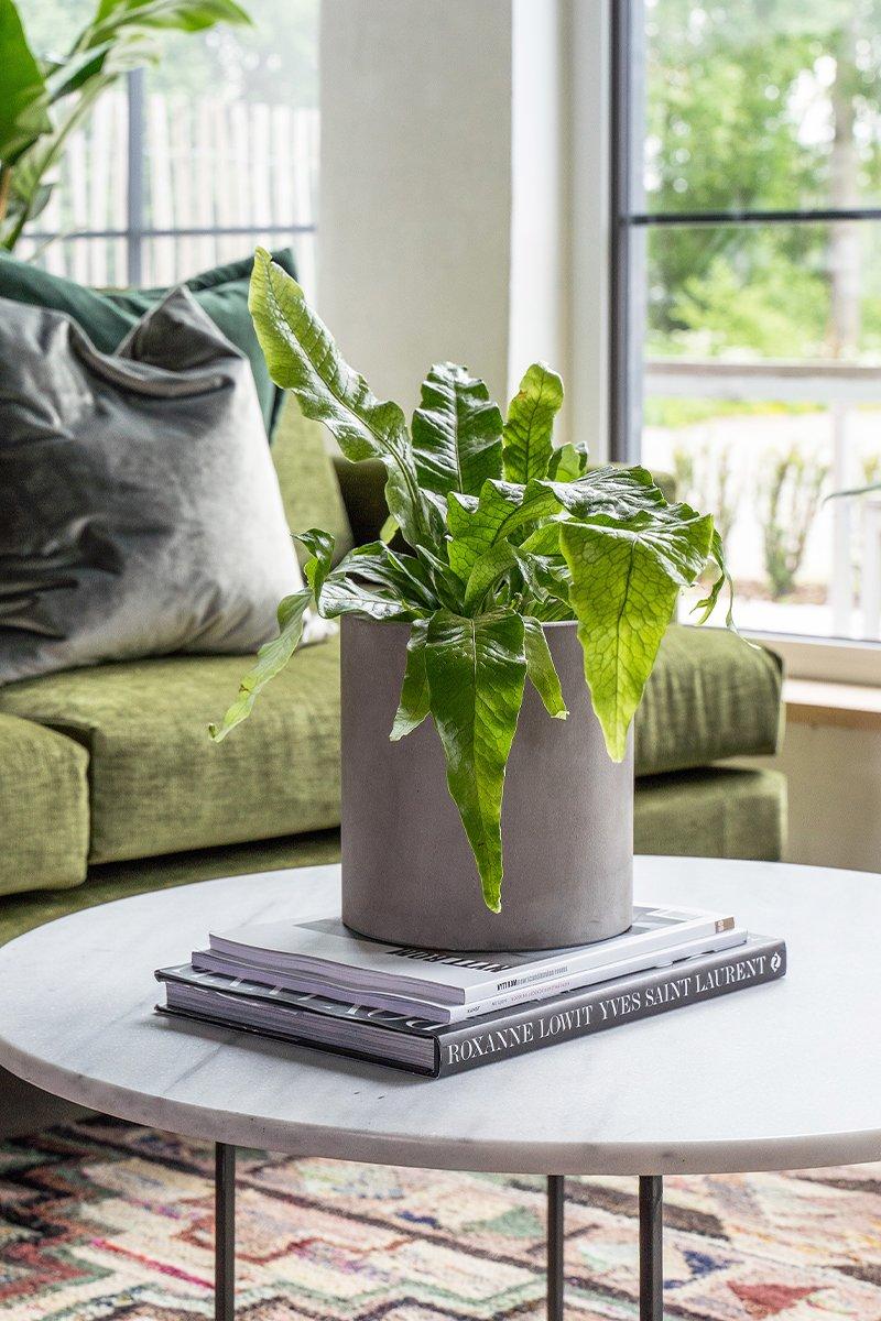 Planten kengurubregne på lite stuebord