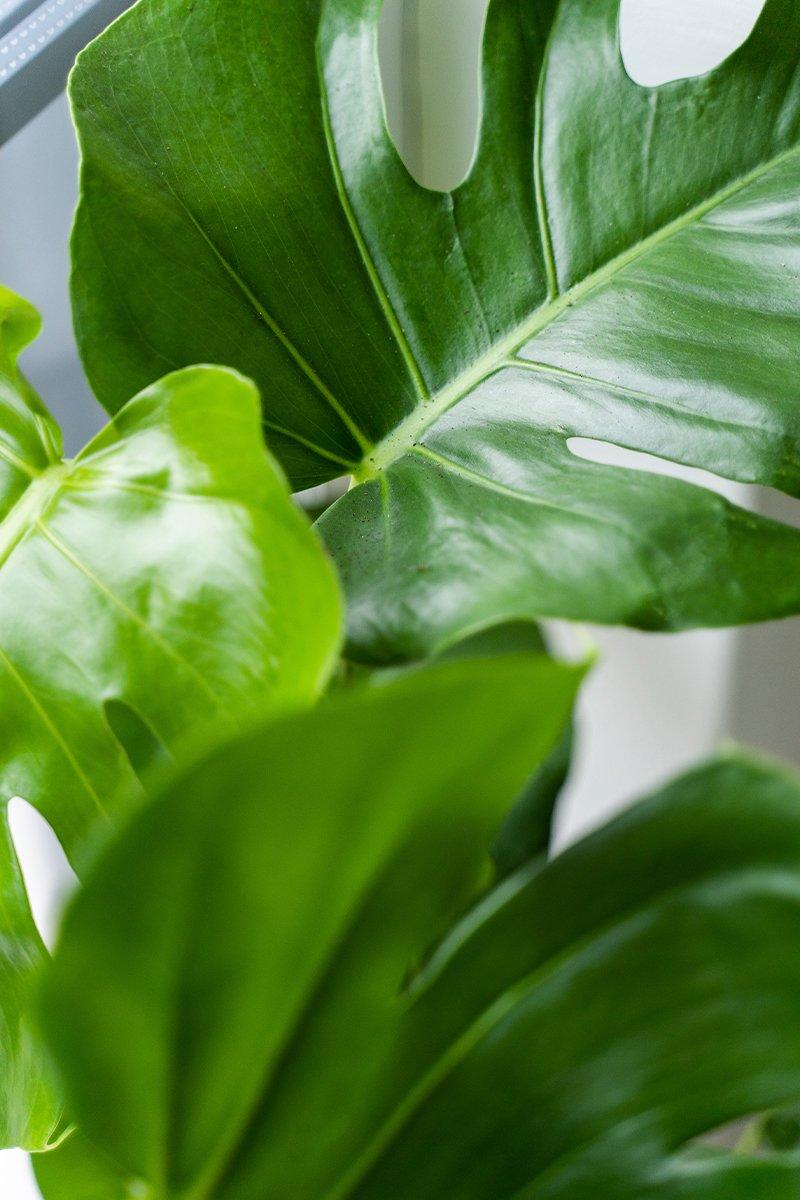 Nærbilde av planten vindusblad