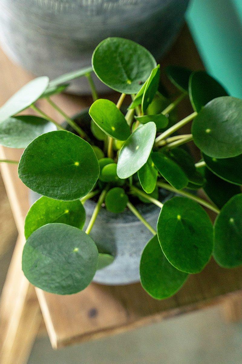 Nærbilde av grønnplanten Pilea