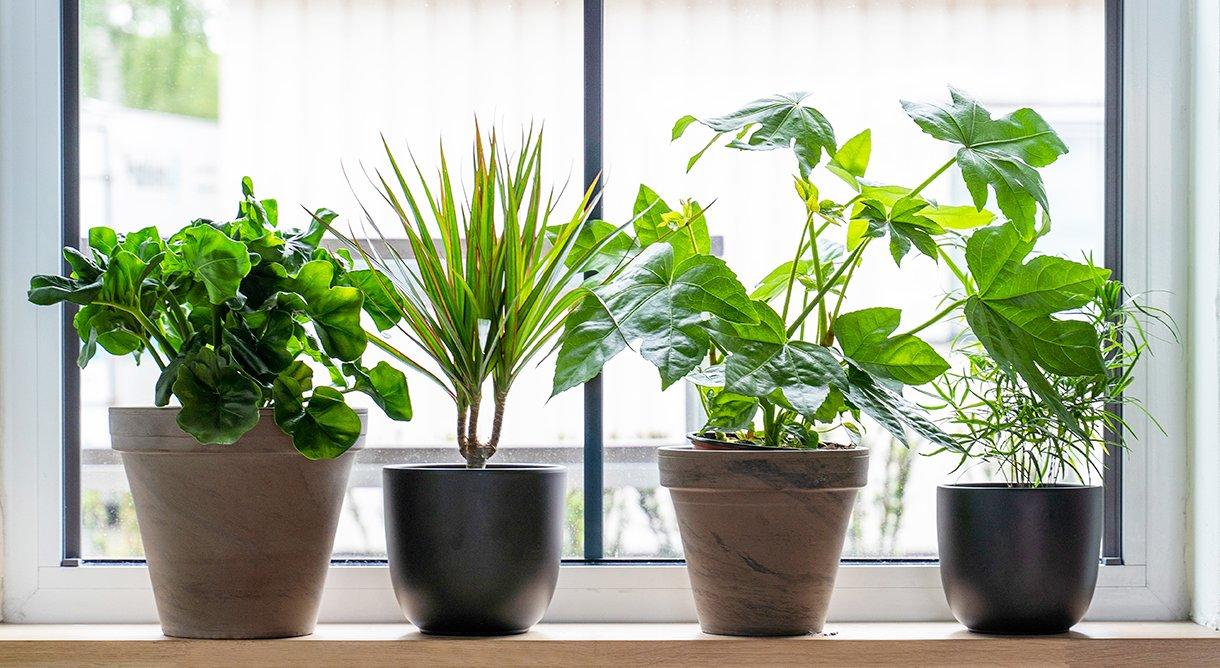 Fire typer grønnplante på rekke og rad i vinduskarm